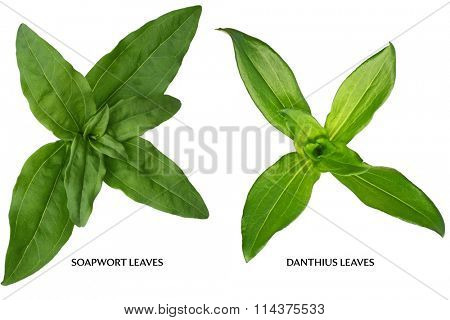 Soapwort and dianthus Leaf isolated on white background
