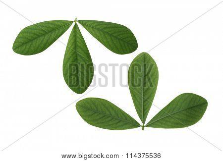 Two sides of False Indigo Leaf isolated on white background