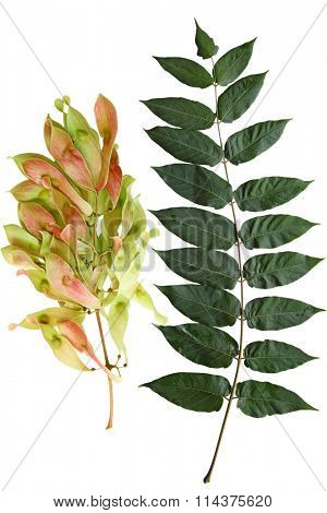 Ailanthus Altissima Tree of Heaven leaf and Fruit  isolated on white background