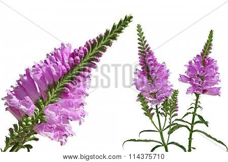 Purple  Physostegia  Virginiana wild flower isolated on white background