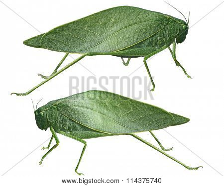 Long-horned grasshoppers, Tettigoniidae, leafhopper isolated on white background