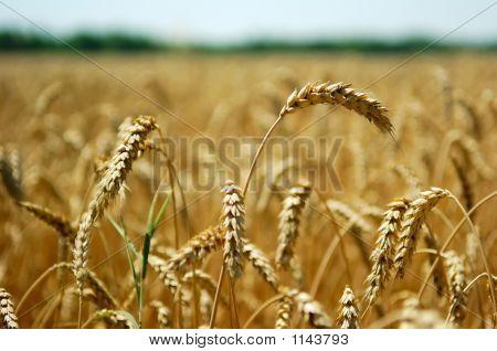 Wheat Spikes