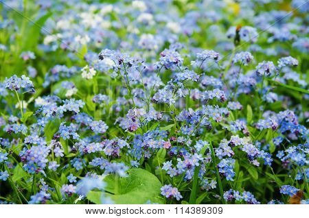 Forget-me-not flowers background
