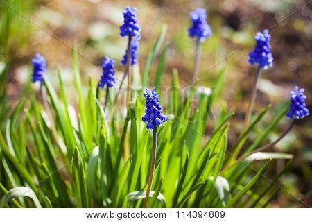 Spring Blue Flowers Muscari Or Murine Hyacinth