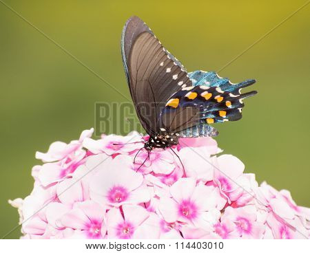 Ventral view of a Green Swallowtail butterfly feeding on light pink Phlox flowers