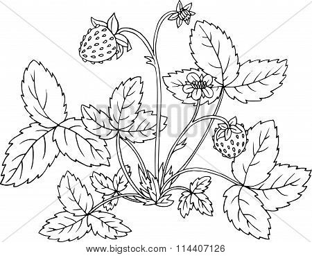 strawberry shrub with berries