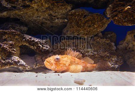 Grouper (Cephalopholis sonnerati) at the bottom of aquarium