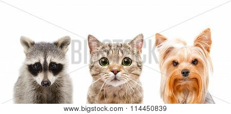 Portrait of a raccoon, cat and dog together