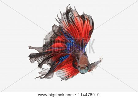 Betta Fish Isolated On White Background. Flying Betta Fish