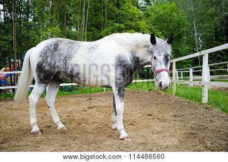 Orlov Trotter, white horse.