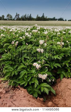 Potato plants in flower on a farm in rural Prince Edward Island, Canada.