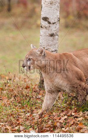 Adult Male Cougar (puma Concolor) Stalks Left