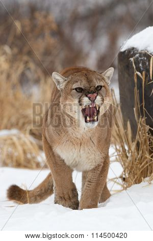 Agitated Mountain Lion
