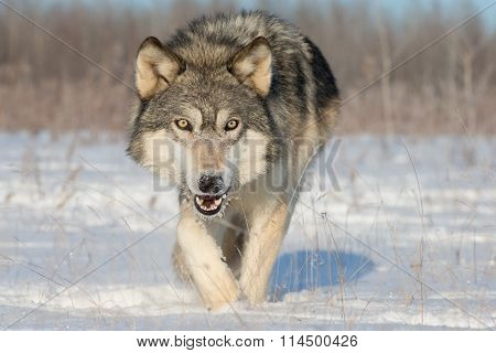 Timber Wolf Looking for Food