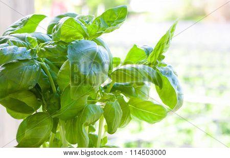 Fresh Basil In The Pot