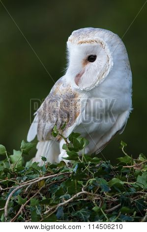 Barn Owl (Tyto Alba) perched on ivy covered branch poster