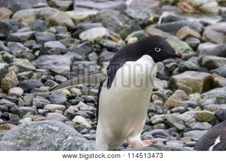 Adelie Penguin Walking
