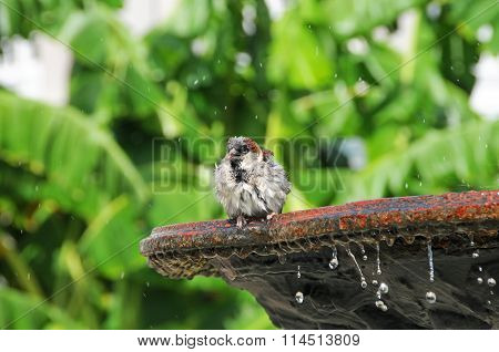 Sparrow chirping on birdbath water drops falling