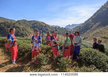 Chiangmai Thailand - Jan10 : Dara-ang Hill Tribe People Harvesting Tea Leaves From Tea Plantation Co