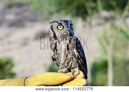 Burrowing Owl perched on gloved hand