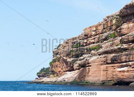 NorthernGannet colony on Bonaventure Island