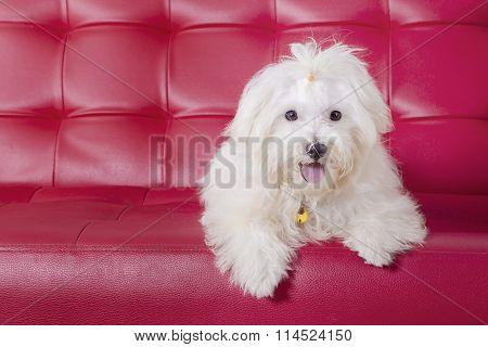 Maltese Dog Lying On The Sofa