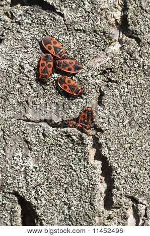A group of black and red coleopterons wintering inside a tree crack poster