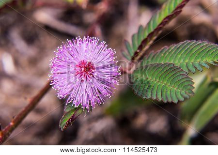 Macro Wild Flower Pudica Mimosa