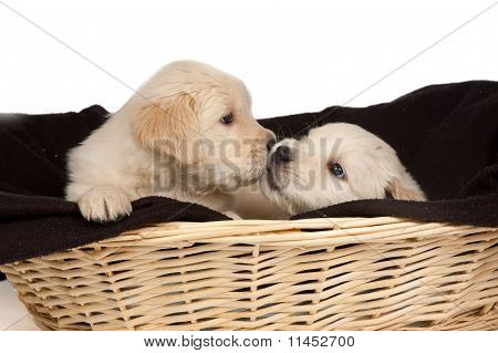 Two Golden Retriever Puppies Are Cuddling Eachother