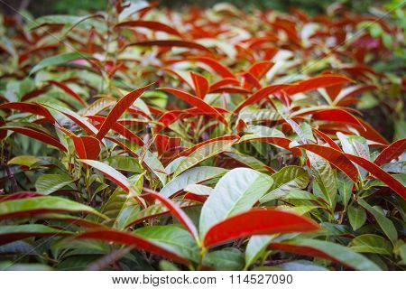 the foliage plant Excoecaria cochinchinensis Lour .