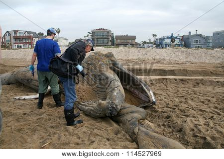 1-15-2016 Sunset Beach California: Researchers measure and examine before dissecting a Juvenile Humpback Whale to collect for study and education. Sunset Beach California
