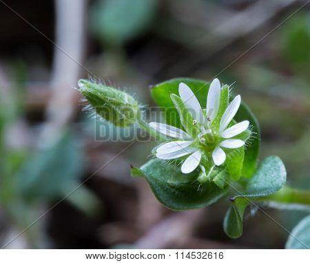 imperceptible floret