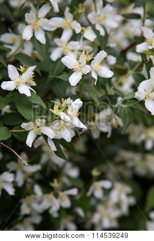 A jasmine bush in full springtime blossom