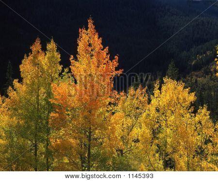 Orange Aspens(h)
