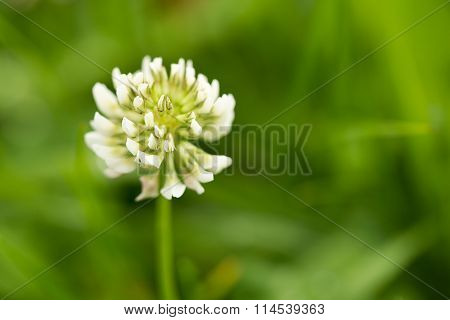 The clover flower in the green field.Trifolium repens