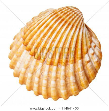Clam Mollusc Shell Isolated On White