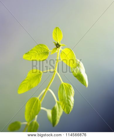 sunflower sprout with bud in backlight on color background, toned, local focus, shallow DOF poster