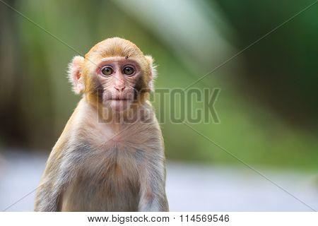 Portrait Of A Baby Rhesus Macaque Monkey (macaca Mulatta)