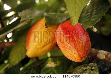 South America Venezuela Chuao Cacao Plantation