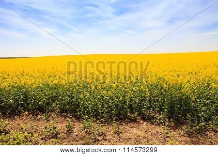 Blue Sky Fleecy Clouds Above Yellow Rapeseed Field In Blossom