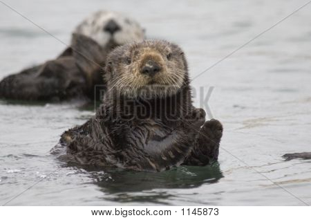 this is a photo of a sea otter in elk horn slough. poster