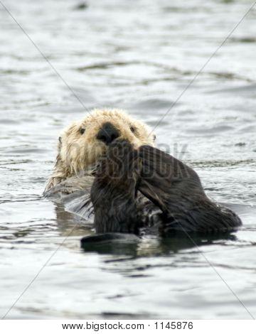 Sea Otter Vertical Crop
