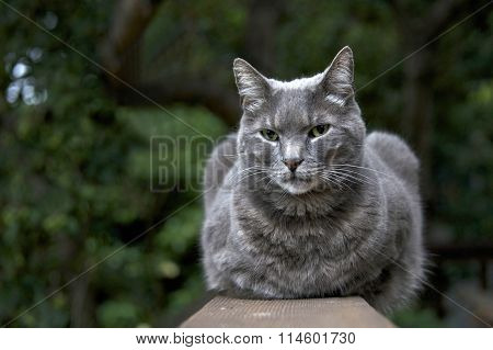 Domesticated grey cat sitting on a fence post with trees in backgroung