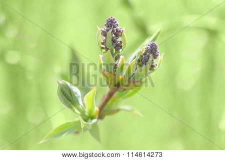 Springtime Bush Sprouting Sprig With Blossoming Leaves And Fresh Foliage