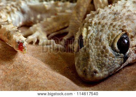 Dead Gecko (possibly Cyrtopodion Caspius)