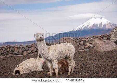 Alpaca Against Volcano