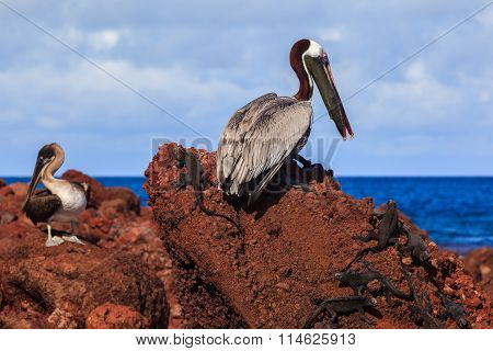 Brown pelican eating red fish on the rock