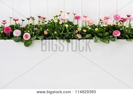 Daisy pink spring time flowers on white wooden background for decoration.