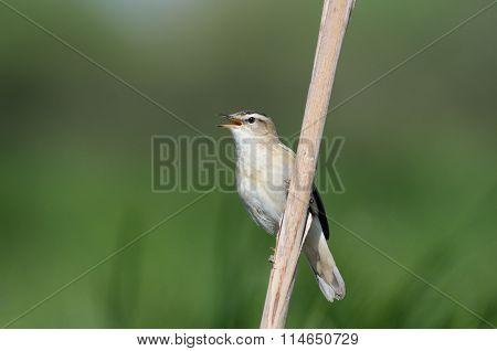 Singing Sedge Warbler