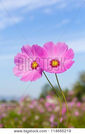 Pink Flowers Cosmos.